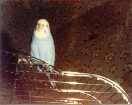 this was blueberry my budgie I got for my 13th birthday