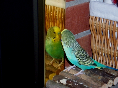 What a handsome budgie!